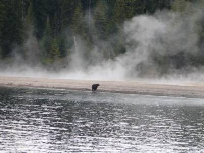 Bear On Shore, Yellowstone Lake