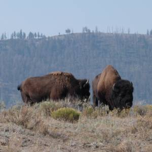 Bison Pair, Yellowstone