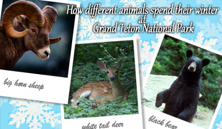 Teton Animals